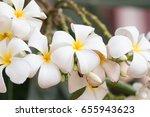 white flowers of frangipani   2 | Shutterstock . vector #655943623