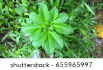 elephant yam plant | Shutterstock . vector #655965997