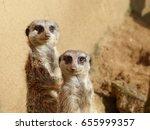 Meerkats Couple Looking Curiou...