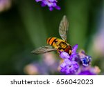 Marmalade Hoverfly Feeding On...