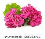 Pink Flower Of Geranium ...