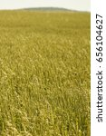 Small photo of Wheat field in Summer, Lancaster County, Pennsylvania, USA