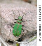 Small photo of green tiger beetle, Cicindela Campestris