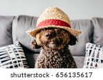 Stock photo brown spanish water dog with lovely faces wearing a straw hat lying on the sofa indoor portrait 656135617