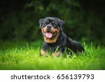 Rottweiler Dog Lying On The...