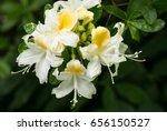 White  Yellow Honeysuckle...