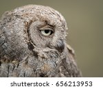 Portrait Of An Eurasian Scops...