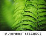 beautiful fern leaves green... | Shutterstock . vector #656238073