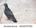 Pigeon sitting on the Ground turning its Spine towards the Camera