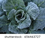 Small photo of Frost on Collard leaves, Brassica oleracea (Acephala Group)