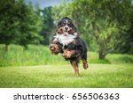 Happy Bernese Mountain Dog...