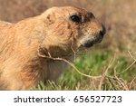 headshot portrait of a prairie... | Shutterstock . vector #656527723