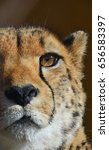 Small photo of Extreme close up portrait of cheetah (Acinonyx jubatus) looking at camera, low angle view