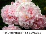 pink peonies in the garden.... | Shutterstock . vector #656696383