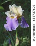 Small photo of Panama Fling Tall Bearded iris (Iris x germanica Panama Fling)