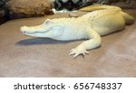 Albino Alligator Or White...