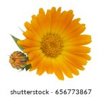 Flowers With Leaves Calendula...