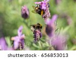 Two Furry Bumblebees Bees...