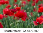 flowers red poppies blossom on... | Shutterstock . vector #656873707
