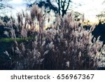 silhouettes of common reed... | Shutterstock . vector #656967367