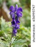 Small photo of Alpine flower Aconitum napellus