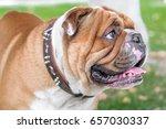 english bulldog portrait close...   Shutterstock . vector #657030337