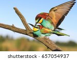 mating birds of paradise .bee... | Shutterstock . vector #657054937