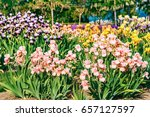 Multicolor Iris Flowers In A...
