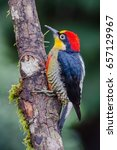 yellow fronted woodpecker   Shutterstock . vector #657129967