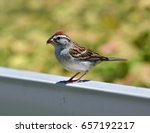 juvenile chipping sparrow ... | Shutterstock . vector #657192217