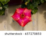 carmine  pink suffused with...   Shutterstock . vector #657270853