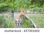 two young dogs looking over...   Shutterstock . vector #657301603
