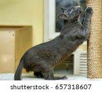 cute cat scratching a post   Shutterstock . vector #657318607
