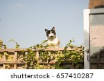 Small photo of A three-colored cat sits and doze off on a wooden fence with a honeysuckle plant on the background of blue sky in a sunny day. Concept may be: enjoy your life here and now.