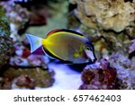 Small photo of Japan surgeonfish, Acanthurus japonicus is marine fish live in the coral reef under the sea. it's popular to used as a pet in an aquarium or home fish tank. it is in Family Acanthuridae