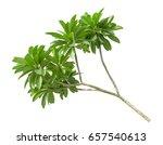 Branch Of Green Frangipani Lea...