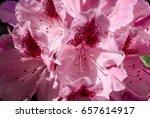 Rhododendron 'cosmopolitan' ...