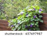 Morning Glory  Ipomoea  Flower...