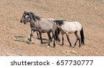 wild horse herd walking uphill... | Shutterstock . vector #657730777