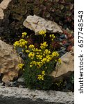 Small photo of Close-up of an alpine flowers called yellow Draba