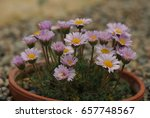 macro photo of a pink daisy... | Shutterstock . vector #657748567