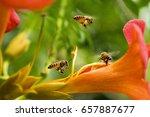 Flying Honey Bee Collecting...