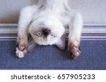 siamese kitten lay on sofa soft ...   Shutterstock . vector #657905233