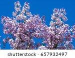 beautiful fresh purple violet...   Shutterstock . vector #657932497