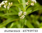 Small photo of Flowers of lemon verbena (Aloysia citrodora), an herb and garden plant from South America.