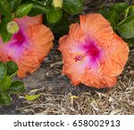 orange suffused with carmine...   Shutterstock . vector #658002913