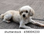 Small photo of Poodle, sensitive, easy to perceive, observant, ear nose, nimble
