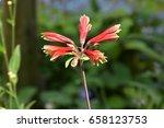 Small photo of Alstroemeria pulchella