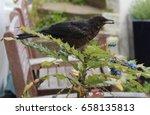 A Female Blackbird Helps...