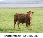 Brown Cows On Green Meadow...